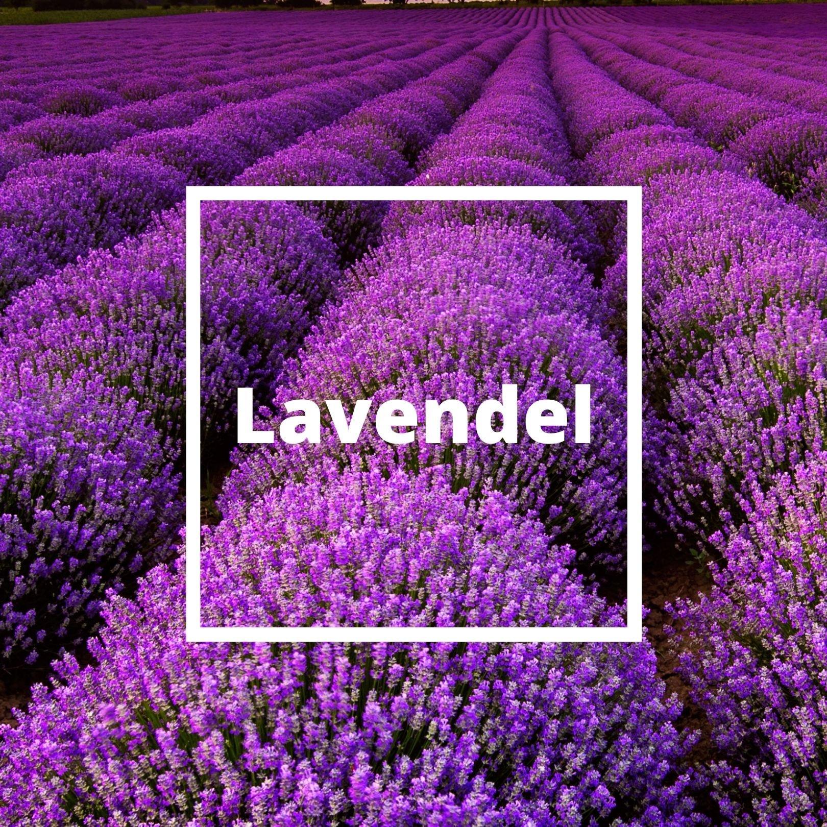 L'ATELIERO - Lavendel - Belle Mademoiselle